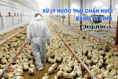 Xử Lý Nước Thải Chăn Nuôi Bằng Vi Sinh Organica Tại Anh